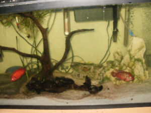 BLOOD RED JEWELS CICHLIDS FRY for sale.