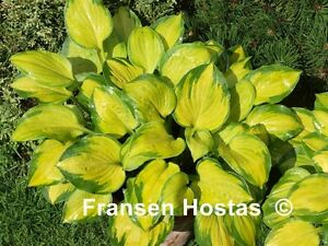 Hosta Wylde Green Cream - Hostas en