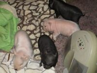 micro pig piglets for sale