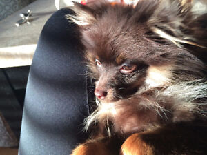 Pomeranian x Chihuahua for sale - Surrey, BC (SOLD)