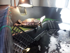 Female Red-Eared Slider turtle w/ turtle pond (or sold separate)
