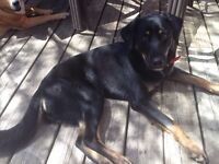 FOUND - Black and Tan shepherd mix, young female