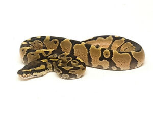 Ball Pythons for Sale - Various Morphs Available