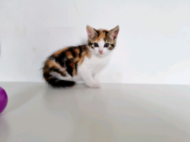 Marble bengal x kittens for new 🏡
