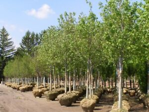 TREES, SHRUBS, BUSHES in all sizes. Delivered & planted