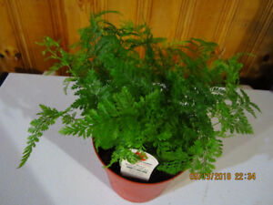 Rabbit's Foot Fern - Air Purifying
