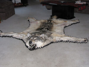 Beautiful tanned Timber Wolf Rug
