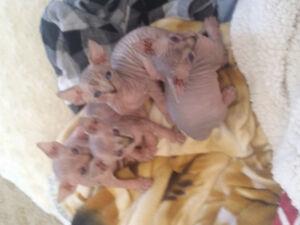 Sphynx kitten ready for xmas