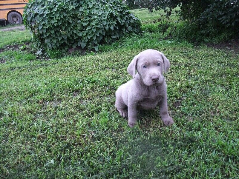 silver & charcoal lab puppies