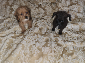 Jack Russell x toy poodle (jackapoo)