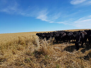 Full time Cattle Health Specialist Feedlot Pen Checker Moose Jaw Regina Area image 2