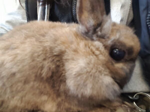 BEAUTIFUL BROWN DWARF BUNNY FEMALE 6 MONTHS OLD