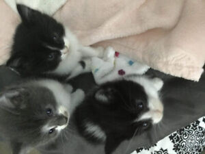 2 black and white kittens available