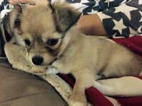 Pure chihuahua puppy