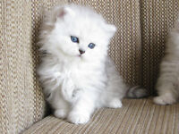 5 Chatons Persans enregistrés / 5 Registered persian kittens