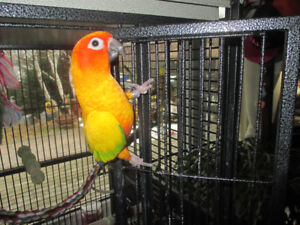 LOOKING FOR A SUN CONURE