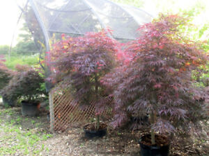 Japanese maples on sale.