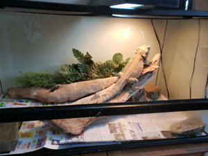 2 year old bearded dragon with setup.