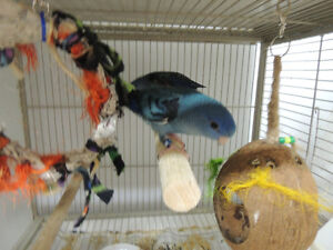 Linnies (Lineolated Parakeets)