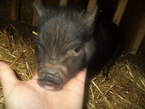 Cute baby pot belly pigs 5 girls and 2 boys Kitchener / Waterloo Kitchener Area image 2