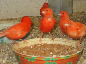 Red Factor Canaries.