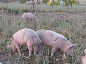 Naturally raised pork sold by halves or cuts