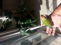 Baby love brird and baby yellow sided conure