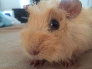 Young Guinea pig for sale !