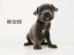 BLUE STAFFY PUPPIES PEDIGREE STAFFORDSHIRE BULLTERRIERS PUP