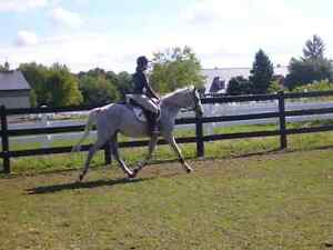 Been there done that gelding for part board. Has show experience