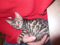 CHATASIA BENGAL - CHATONS DISPONIBLES