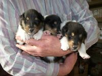Rough collies pups for sale