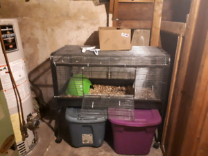 Guinea pig and large cage