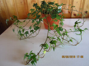 Hedera Helix Ivy - (Air Purifying Plant)