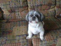 Adorable Shih Tzu for sale