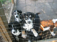 PUPPIES born may 09 husky shepperd beagle parents are really