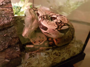 Red Tailed Boa and Enclosure