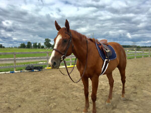 LF co-boarder (horse)