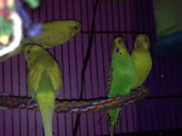 5 budgies for sale