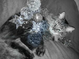 Beautiful Cat Lost