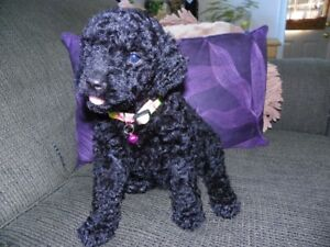 Golden Doodle Puppies Ready Now
