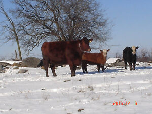 Certified organic livestock for sale