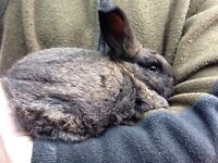 Rabbit - beauty healthy NZD Flemish cross
