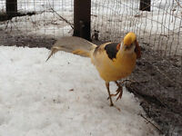Pheasants for sale Yellow Golden, Red Golden, & Silver males