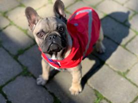 French bulldog full pedigree