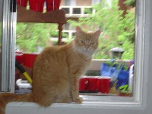 Free Exquisite Orange Cat with orange eyes Gatineau Ottawa / Gatineau Area image 1