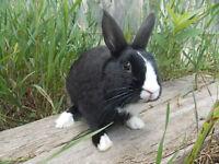 Dutch X Dwarf Bunny :)