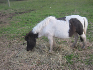 Miniature mares for sale