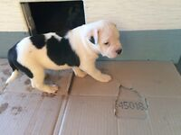 Two female puppies for sale