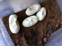 Ball python eggs hatching TODAY!!!!!!!